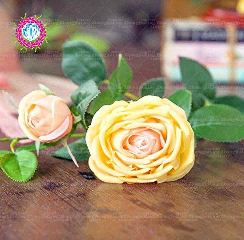 100pcs coloré Graines Rose avec bord rouge, couleur rare jardin populaire Graines de fleurs vivaces Bush ou Bonsai Fleur 5