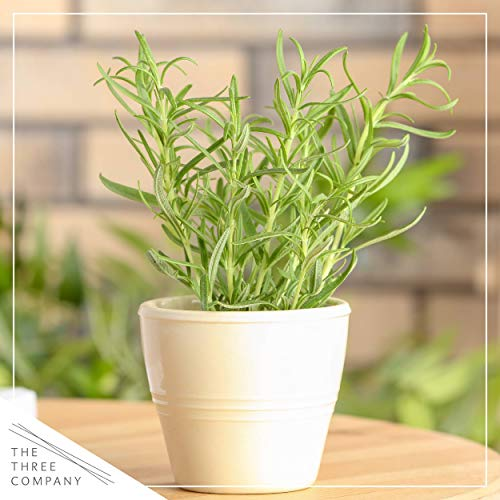 The Three Company Live Rosemary Herb (3 Per Pack) Aromatic and Edible Plant, Naturally Boosts Immune System, 1 Pint Pot