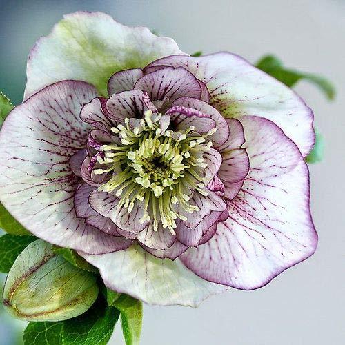 AIMADO Samen-Rarität 10 Stück Christrose Schneerosen Samen zweifarbigen Blüten mehrjährig winterhart traumhaft Blumen,Blumensamen ideale Staude für Beet, Kübel & Garten