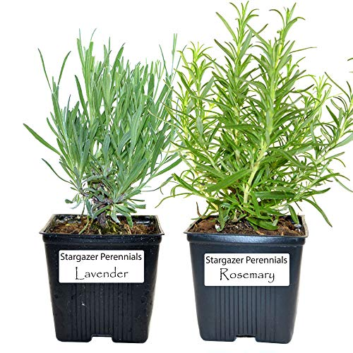 Live Rosemary and Lavender Plant - Set of 2 Hardy Herb Plants Grown...
