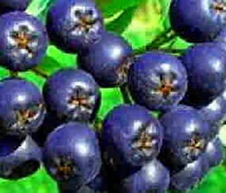 aronia berry plants for sale