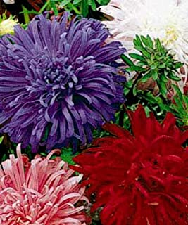 Toyensnow - Aster Seeds, Giants of California, Bulk Seed, Heirloom Aster, Mixed Asters (250 Seeds)