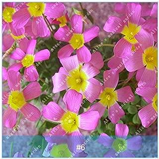 Seed - 2pcs True Oxalis Flower Bulbs Rare Versicolor Sorrel Rotary Grass Pot Home Plant Bonsai