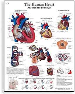 3B Scientific VR2334L Glossy UV Resistant Laminated Paper Le Coeur Humain, Anatomie Et Physiologie Anatomical Chart (Human Heart Anatomy and Physiology Chart, French), Poster Size 20