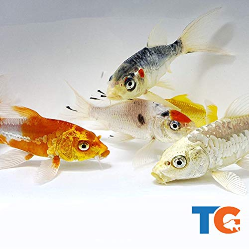 Toledo Goldfish Live Butterfly Fin Koi for Ponds, Aquariums or Tanks – USA Born and Raised – Live Arrival Guarantee (3 to 4 inches, 5 Fish)