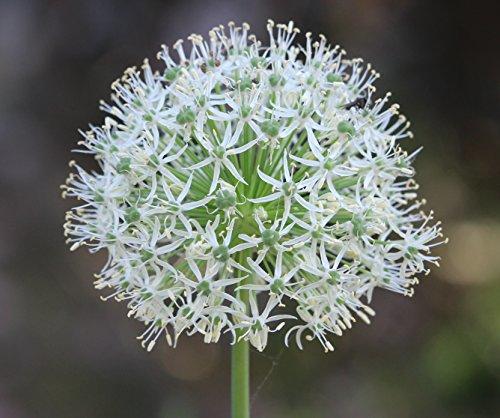 5 Allium Mount Everest Zierlauch großblumig Blumenzwiebeln