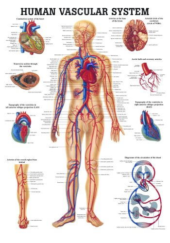 Anatomical Worldwide CH06 The Human Vascular System Laminated Anatomy Chart