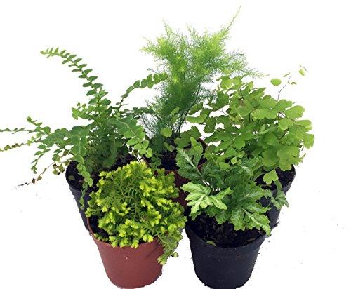 Mini Ferns for Terrariums/Fairy Garden - 5 Different Plants-2 Pots