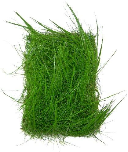 1 Matte 5x5 Eloecharis acicularis Nadelsimse, Wasserpflanze