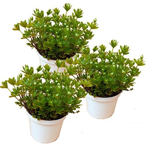 drei Pflanzen Waldmeister (Asperula odorata (Galium odoratum)