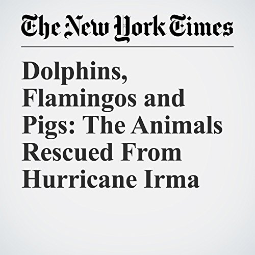 Dolphins, Flamingos and Pigs: The Animals Rescued From Hurricane Irma copertina
