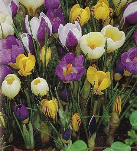 100 Botanische Krokusse gemischte Blumenzwiebeln Crocus