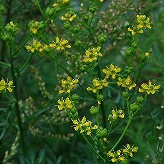 Rue Seeds (Ruta graveolens) 40+ Rare Heirloom Medicinal Herb Seeds