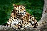 Leopard Tier Wildnis XXL Wandbild Foto Poster P0167 Größe