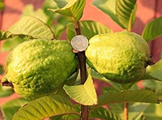 9EzTropical - White Flesh Guava Tree - 1 Plant - 2 to 3 Feet Tall - Ship in 1 Gal Pot