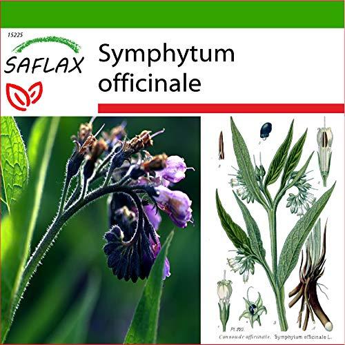 SAFLAX - Heilpflanzen - Beinwell - 15 Samen - Mit keimfreiem Anzuchtsubstrat - Symphytum officinale
