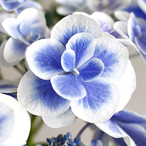 母の日ギフト鉢植えアジサイ「ドリップブルー」イイハナ・ドットコム