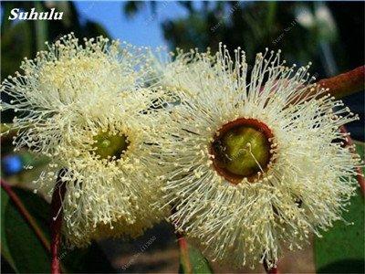 100 Pcs / Sac Rare Eucalyptus arc-en-floraison Graines, Graines Arbre tropical, Eucalyptus plantes pour jardin d'ornement Bonsai 7