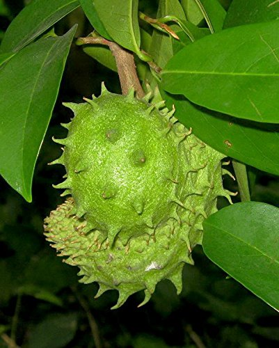 Nuevo plantas del jardín de 5 semillas semillas frescas de frutas GUANÁBANA