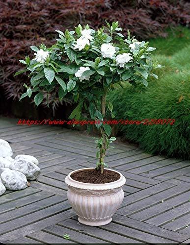 Elitely 20 / Beutel Cape Jasmine s, (Gardenia Jasminoides) Duftender exotischer Strauch - Offen Bestäuben seltene Schöne Blume s