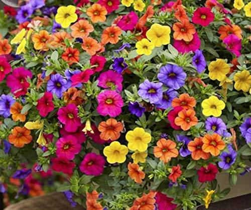 Ultrey Samenshop - 200 Stück Hängende Petunien Blumensamen gemischte Farben Blume Staude Bonsai Petunia Samen mehrjährig winterhart Leuchten Ihren Garten
