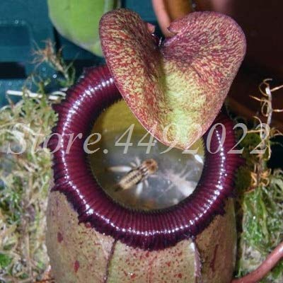 AGROBITS 300 pièces rayées Nepenthes Bonsai Manger moustiques Plantes carnivores Pitcher Tropical Catch Jardin des insectes pour Flower Pot en pot: 4