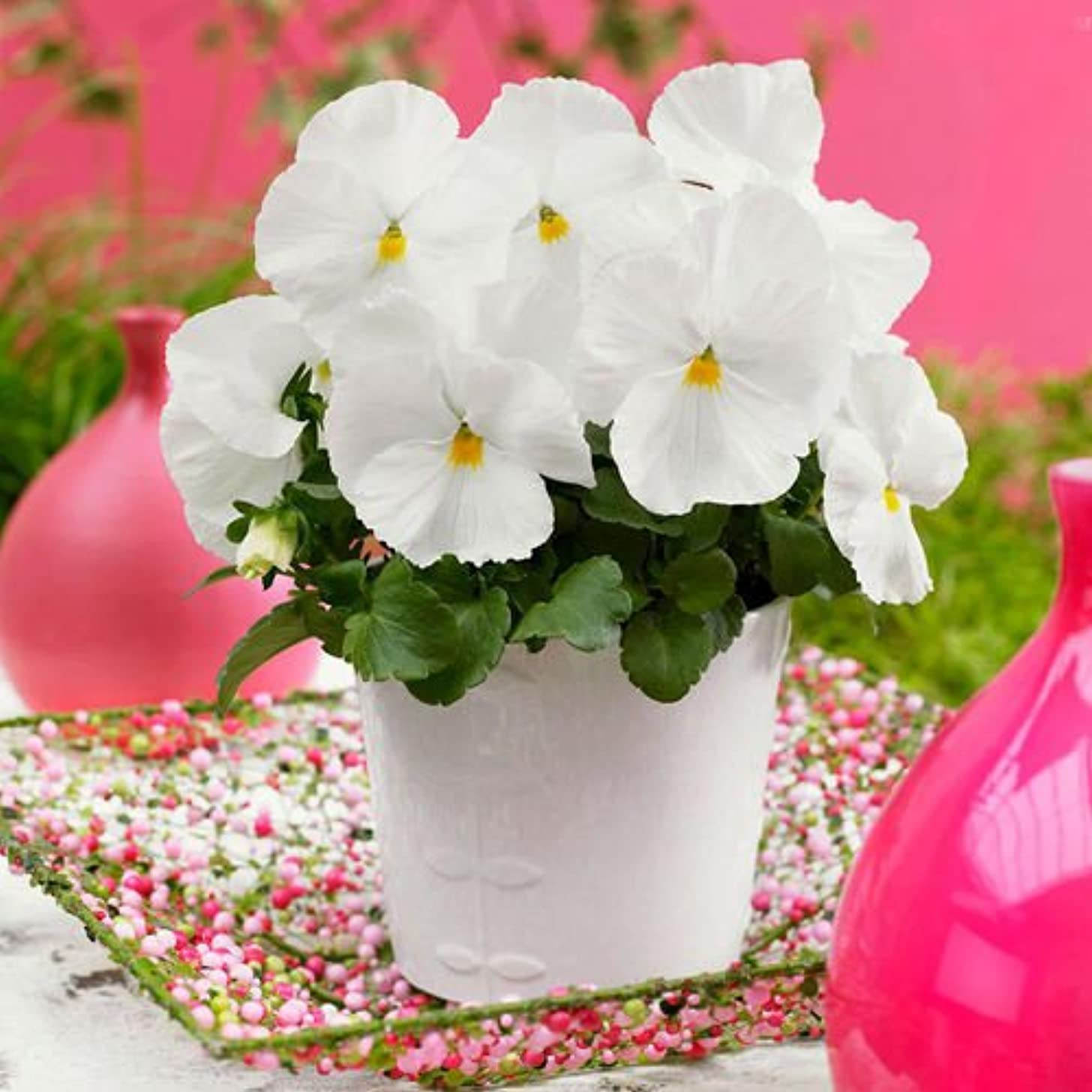 Portal Cool White Pansy Seeds 50 Seeds Viola Tricolor Herb Trinity Flower Garden Seeds A087