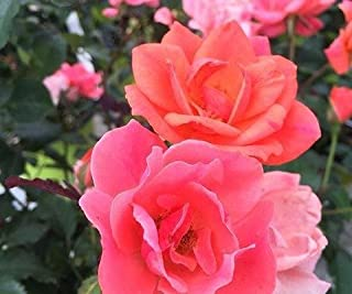 Best coral knockout rose Reviews