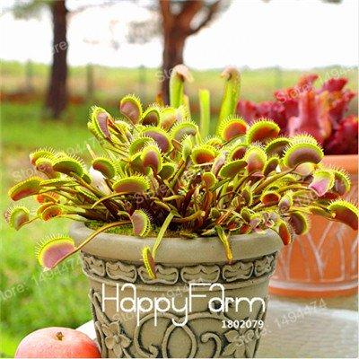 100 Pcs Flytrap Graine de Dionaea géant clip Dionée plante Graines Plante carnivore graines plants de Dionaea Graines de Purple