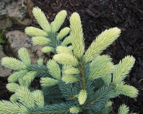 Spring Blast Blue Spruce - New Growth is Bright Cream 1 - Year Live Plant