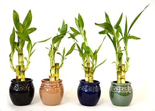 9GreenBox - Live 3 Style Party Set of 4 Bamboo Plant Arrangement w/Ceramic Vase