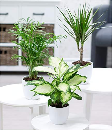 BALDUR Garten Zimmerpflanzen-Mix Classic, 3 Pflanzen Luftreinigende Zimmerpflanze 1 Pflanze Bergpalme Chamaedorea, 1 Pflanze Dracena Drachenbaum und 1 Pflanze Dieffenbachie