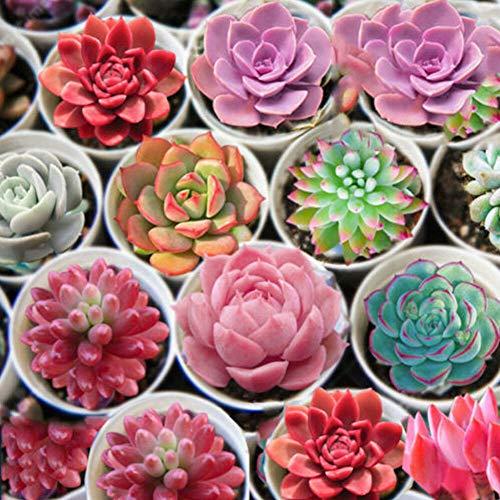 ZqiroLt 600 Stück Gemischte Saftige Samen Lithops Seltene Lebende Steine Bonsai Hausgarten Pflanze Einfach Zu Pflanzen, Zierpflanze, Mit Hoher Keimrate Sukkulenten Samen 600 Stück