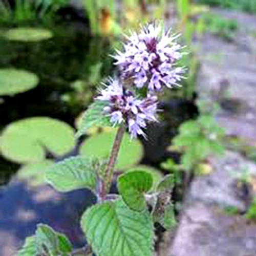 1pcs Water Mint Live Plant Mentha Aquatica
