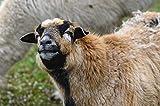 Zopix Premium Poster Schaf Tierwelt Landwirtschaft