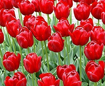 Red : 1000 PC 16kinds courtyard high-grade blue striped tulips seeds flower seed, the world's rare bonsai seeds, flowers plant, Red