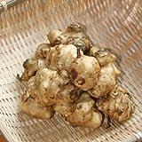 [ 山菜 ] キクイモ苗 3.5寸ポット