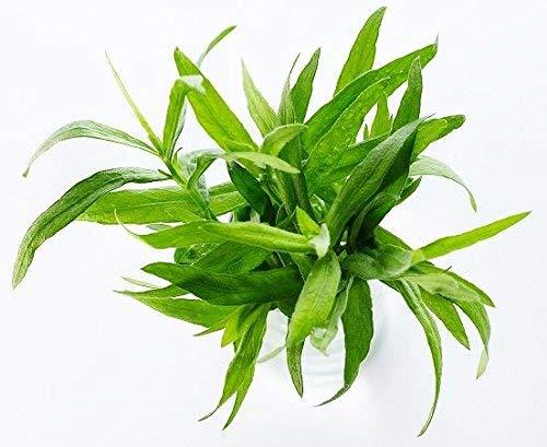 Graines d'estragon - Artemisia dracunculus - 500 graines