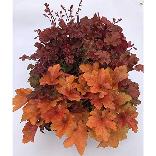 Heuchera Mix Set rot-orange, Purpurglöckchen, 6 Töpfe a 12 cm - winterhart, in Gärtnerqualität von Blumen Eber - 6 Töpfe a 12 cm