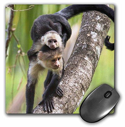 3dRose LLC 8 x 8 x 0.25 Capuchin Monkeys Corcovado NP Costa Rica Jim Goldstein Mouse Pad (mp_87166_1)