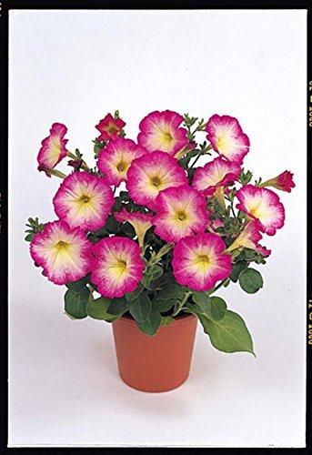 Pétunia Merlin Morn Rose Seed