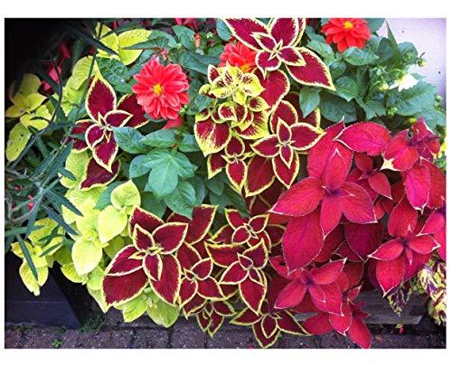 """Premier Seeds Direct HN-42SJ-040P Buntnessel """"Zaubermischung Solenostemon Stunning Foliage"""" feinste Samen (Packung mit 50)"""