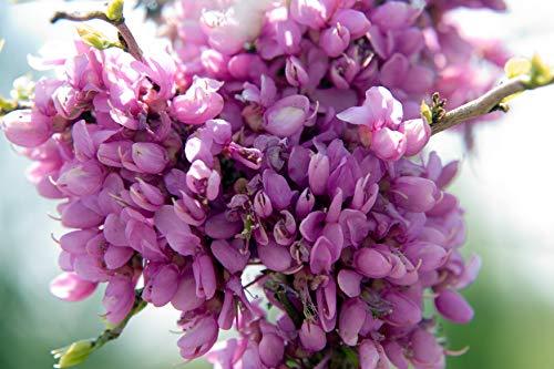 Chinesischer Judasbaum Cercis chinensis 'Avondale' Pflanze 15-20cm Rarität