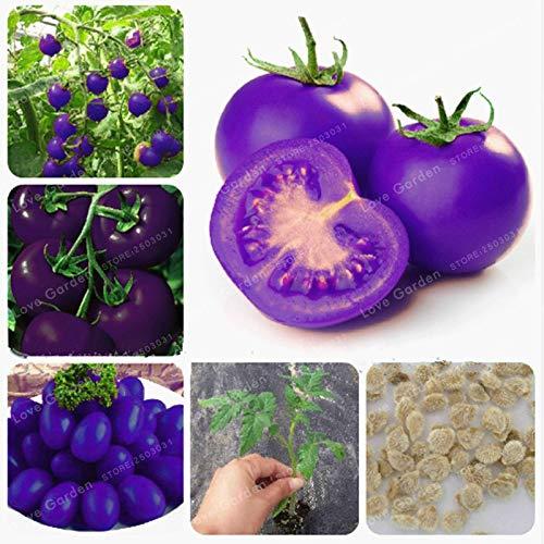 Bloom Green Co. Lila Heilige Obst Tomate Bonsai Gemüse und Früchte Bonsai Für Hausgarten * Farm Pflanzen Leicht Bonsai 100 Stück wachsen