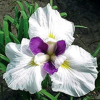 Bearded Iris Roots//Bulbs Garden Beautiful Bonsai Balcony Home Yard Plant Flower