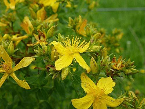 Johanniskraut, GROSS, gelbe Blume, St, 700 SAMEN!GroCo