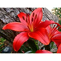 (3) Spectacular Red Asiatic Lily Bulbs Flowering Perennial Year After Year