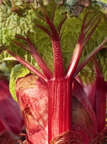 Rhubarb - Crimson Red - Rheum rhabarbarum - Established Roots - Quart Potted - 3 Plants by Growers Solution