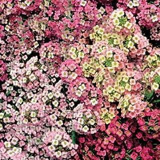 Park Seed Pastel Carpet Sweet Alyssum Seeds