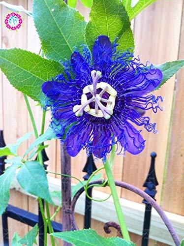 Shopmeeko 10 stücke Bonsai Passiflora blume pflanze Passionsfruchtpflanze Nahrhafte Granadilla Garten Mehrjährige Immergrüne Kletterpflanze: 4.